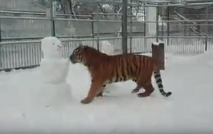 Jogo de inverno: felino selvagem 'luta' contra bonecos de neve