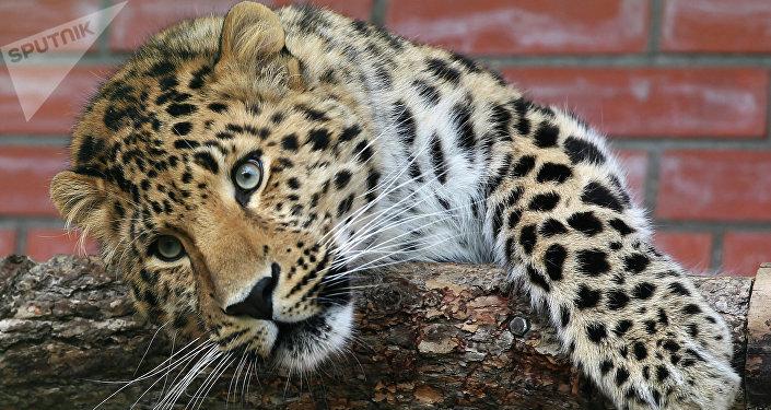 Leopardo em albergue de animais nas cercanias de Moscou (foto de arquivo)
