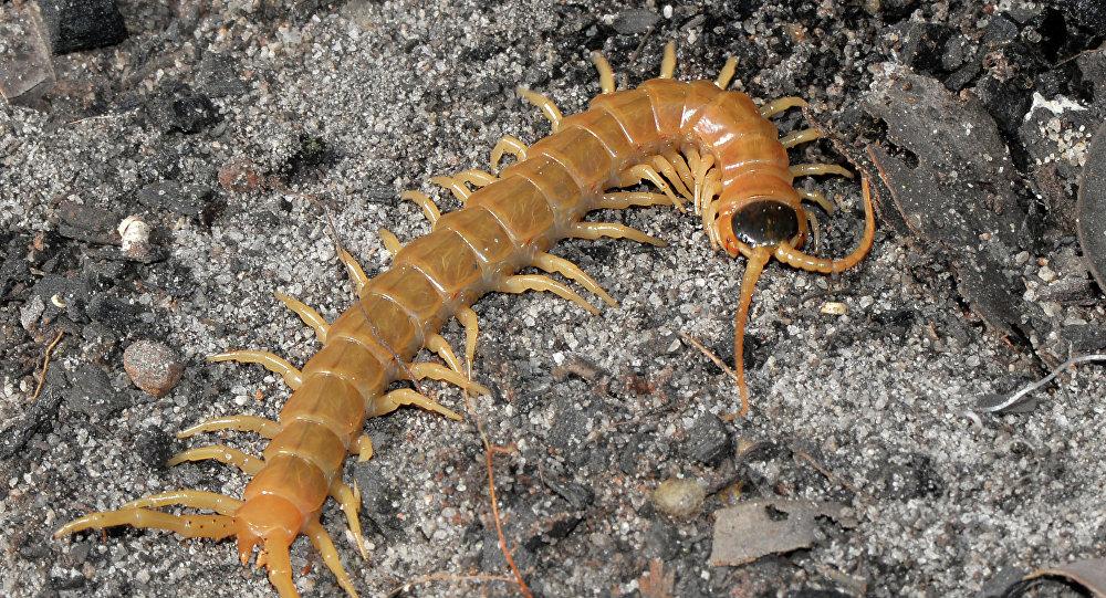 Centopeia (imagem referencial)