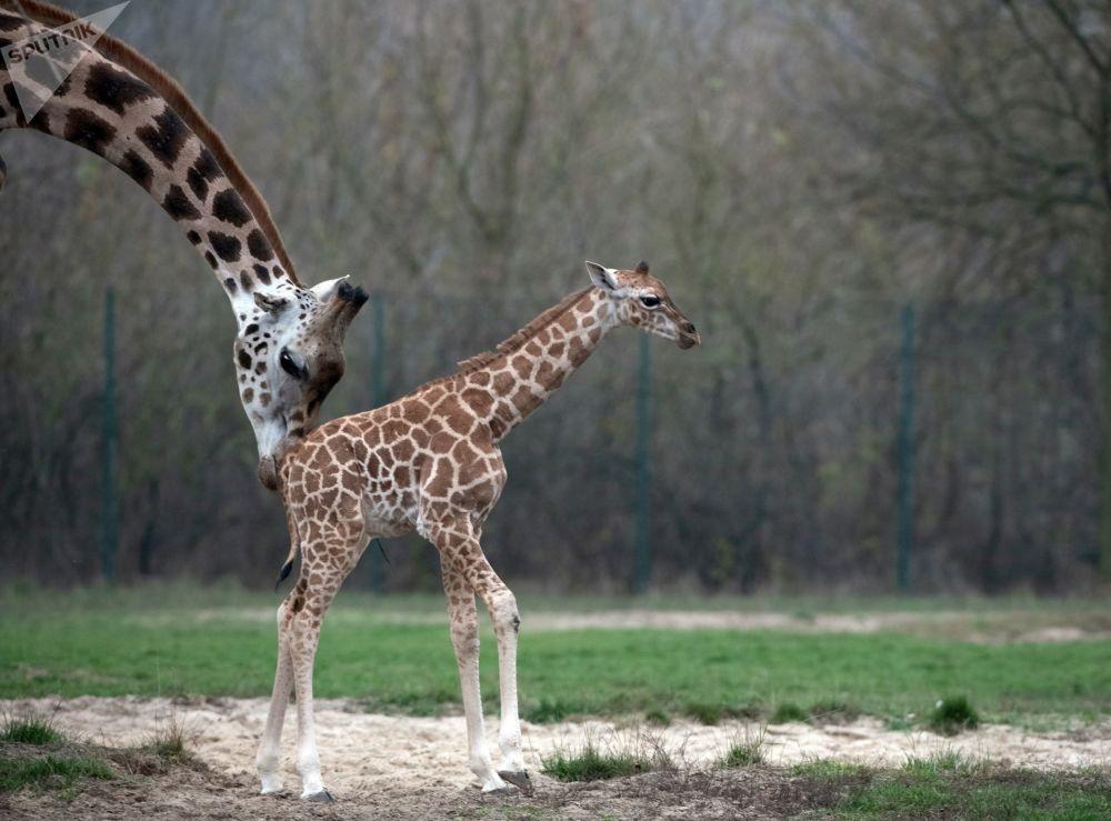Girafa recém-nascida junto com sua mãe em um zoológico de Berlim