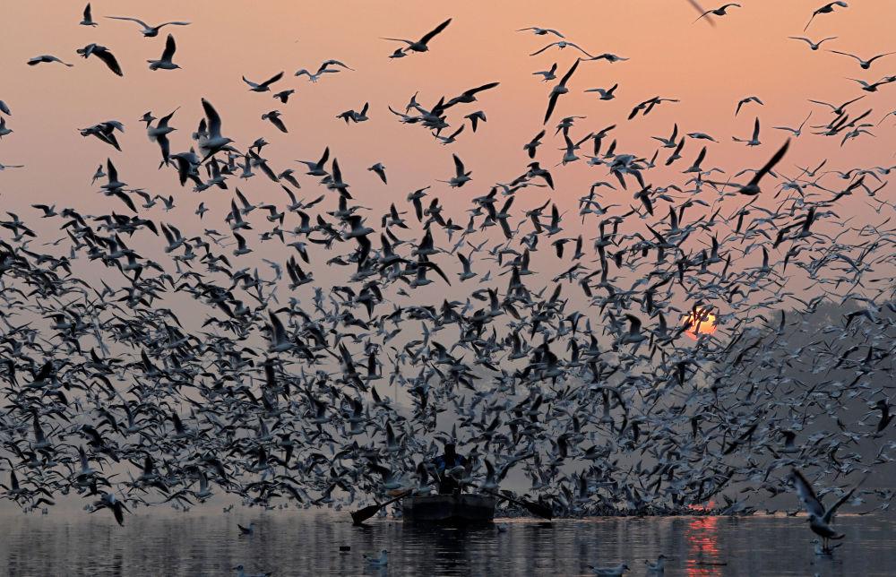 Homem dirige seu barco acompanhado por bando de gaivotas pelo rio Yamuna, em Nova Deli, na Índia