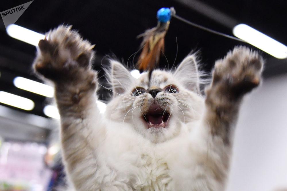 Filhote de gato durante feira de animais em um centro de exposição em Moscou, Rússia