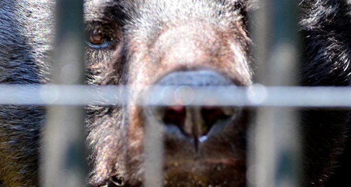 Urso-negro-asiático (imagem referencial)