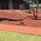 Luta de lagartos na Austrália
