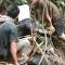 Píton de 8 metros se põe em emboscada para caçar pescador