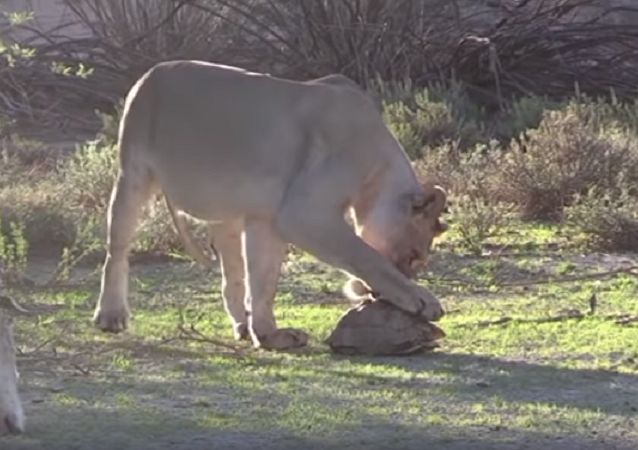 Casco salva tartaruga de ser comida por leões