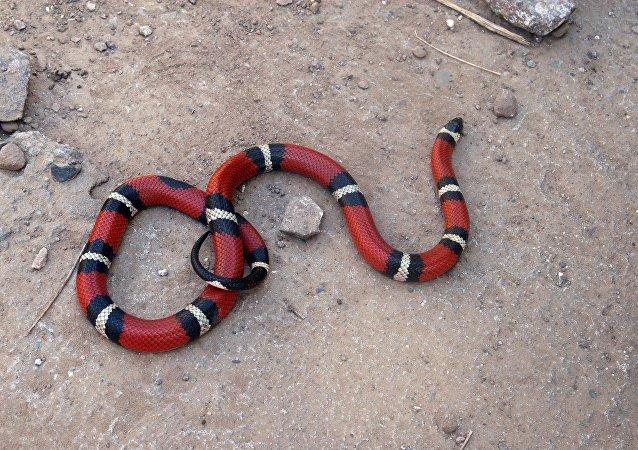 Serpente de coral da América Central (imagem ilustrativa)