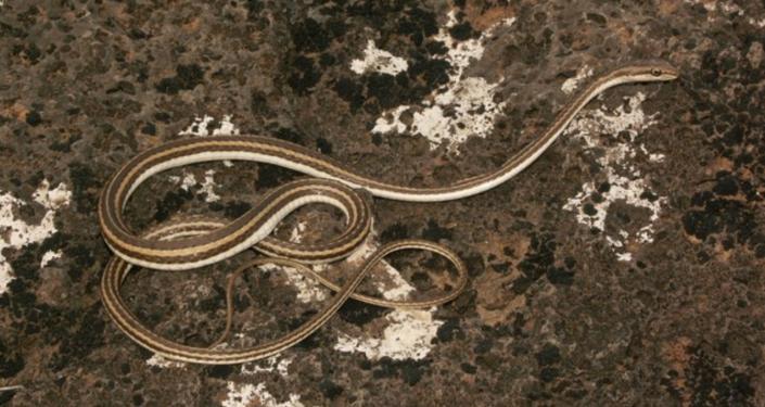 Cobra Psammophis schokari (imagem referencial)