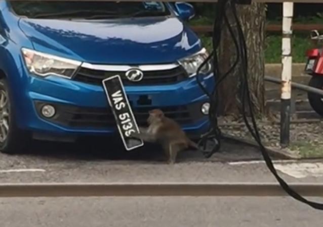 Macaco rouba placa de carro em pleno luz do dia