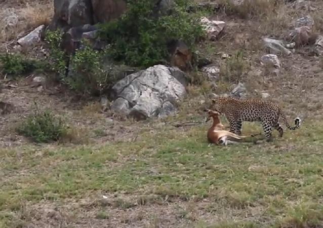 Leopardo ataca e pega antílope em pleno voo