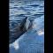Tubarão devora carcaça flutuante de baleia no Havaí