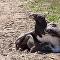 Águia captura filhote de javali que luta até o fim