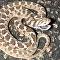 Imitação de ataque: confira modo de defesa insólito de serpente sem dentes