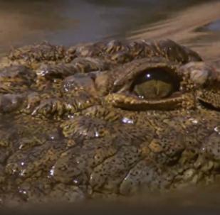 Crocodilo ataca antílopes em emboscada certeira