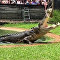 Crocodilo australiano Elvis