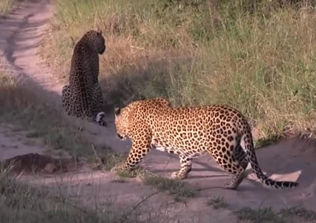Leopardo põe outro felino para correr de sua zona