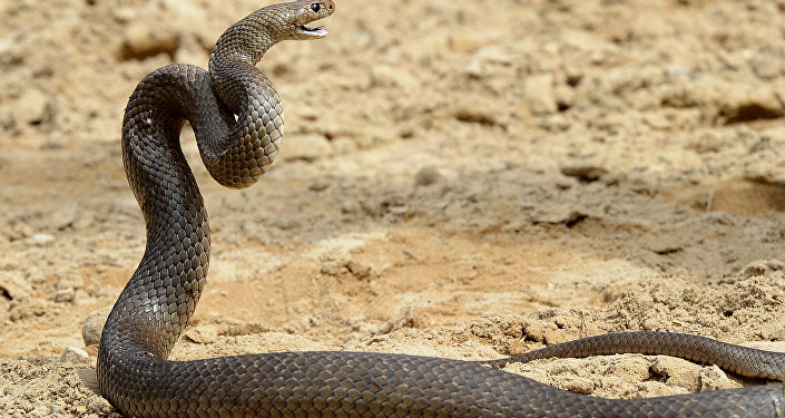 Cobra-marrom (imagem de arquivo)