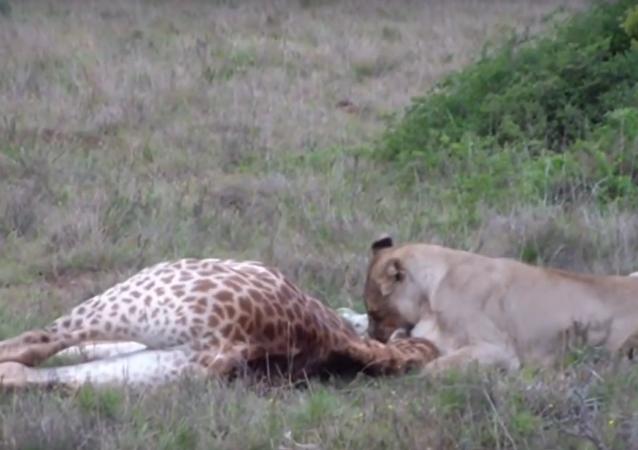 Leoa ataca filhote de girafa
