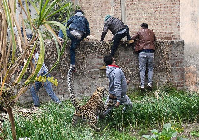 Leopardo causa pânico na Índia