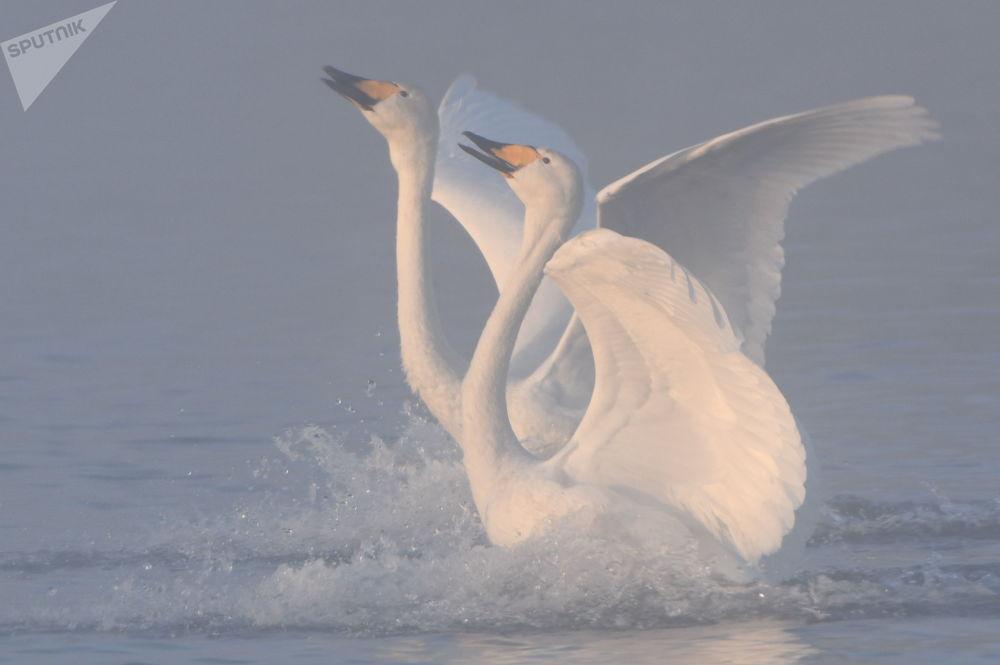Cisnes-bravos no lago Lebedinoye (dos Cisnes) na região russa de Altai
