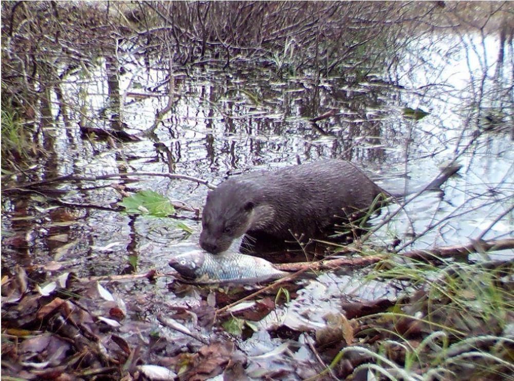 Lontra-europeia se alimenta na zona de exclusão de Chernobyl