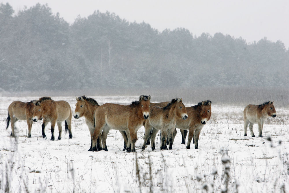 Cavalos selvagens foram levados à zona de exclusão de Chernobyl nos anos de 1990 para investigação da influência radioativa sobre os animais depois do desastre de 1986 na usina nuclear