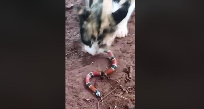 Cobra é torturada por bichano que a devora do rabo à cabeça