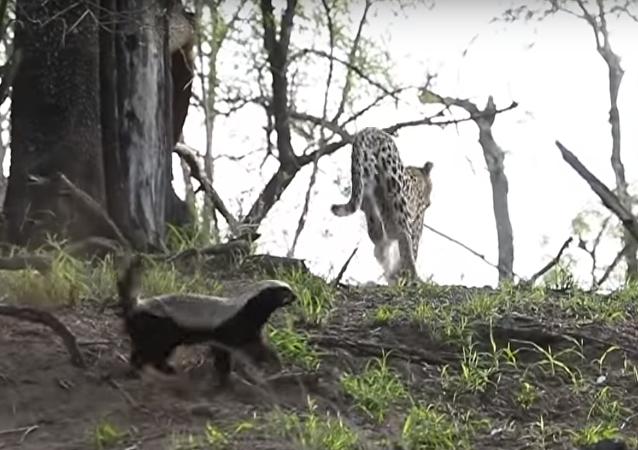 Texugo protege filhotes de leopardo