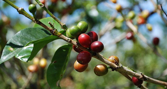 Um cafeeiro (imagem referencial)