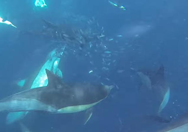 Golfinhos caçam peixes pequenos