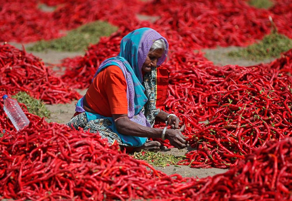 Mulher remove talos de malagueta vermelha em fazenda da vila de Shertha, na Índia, em 6 de fevereiro de 2019