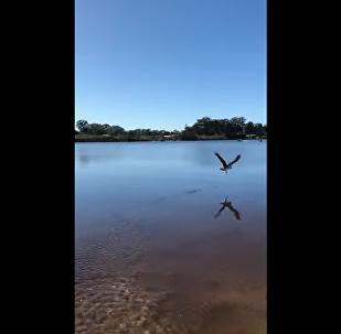 Águia esperta pega peixe que tinha acabado de ser devolvido ao lago