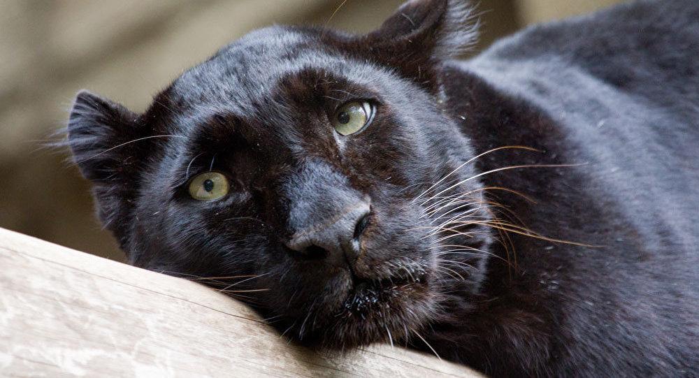 Leopardo negro (imagem referencial)