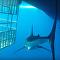 Tubarão-branco tenta entrar em gaiola de mergulhador