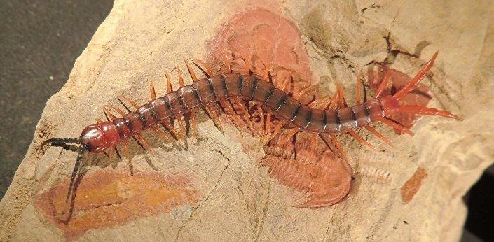 O moderno artrópode, Cormocephalus