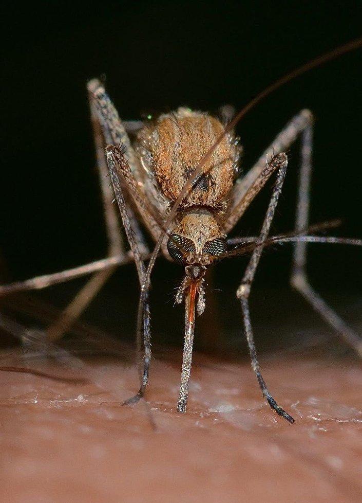 Subespécie de mosquito evoluído