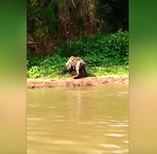 Lei da selva no Brasil: onça tira todas as chances de jacaré
