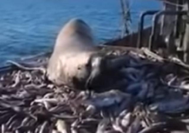 Leão-marinho rouba o peixe de pescadores russos