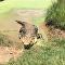 Crocodilo sai subitamente de poça d'água atrás de comida na Austrália