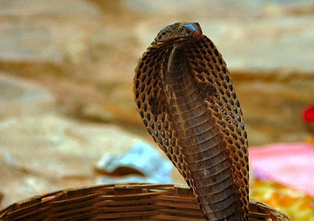 Cobra (imagem de arquivo)