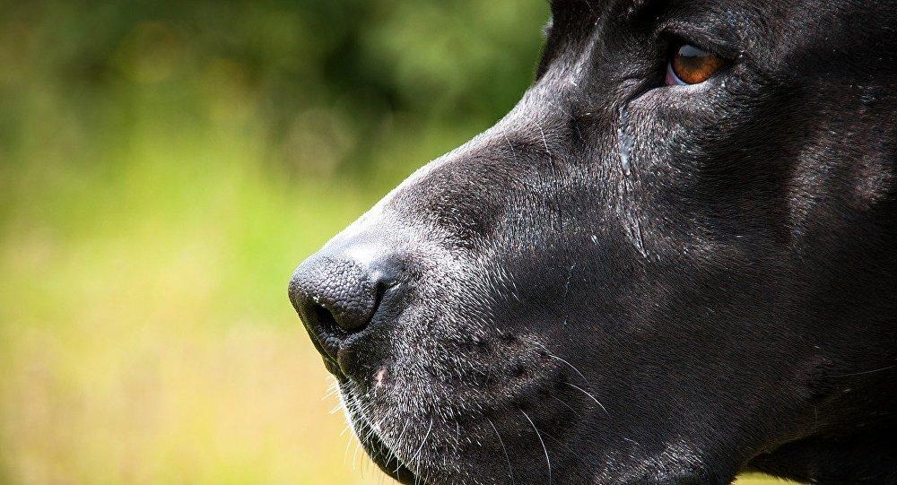 Um cão pitbull (imagem referencial)
