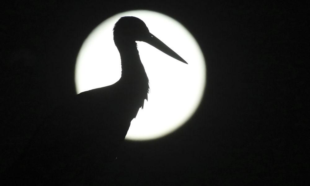 Silhueta de cegonha fotografada com a Lua cheia no segundo plano na Alemanha