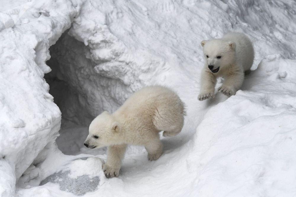 Ursos polares no jardim zoológico de Novossibirsk, Rússia