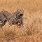 Leopardo na Savana