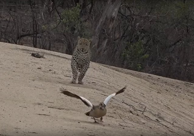 Gansa engana leopardo