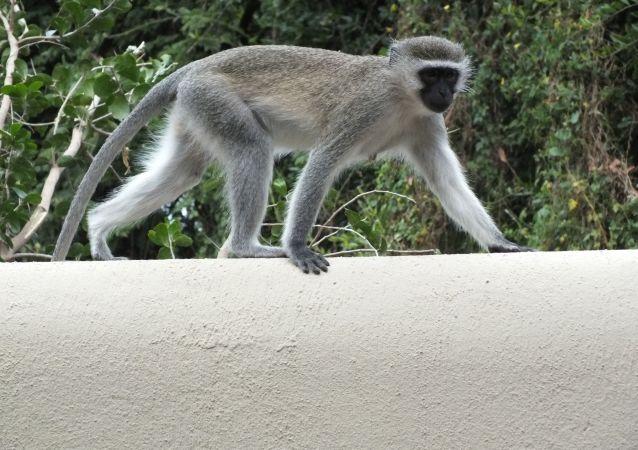 Macaco-vervet (imagem referencial)