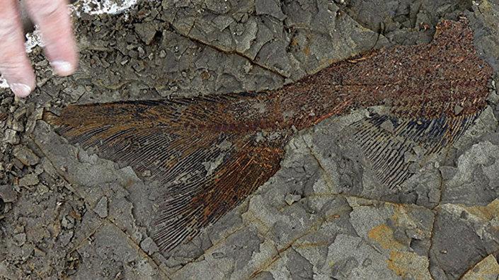 Cauda de peixe bem preservada no depósito fóssil de Tanis, na Dakota do Norte, EUA