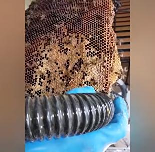 Colmeia de 22 mil abelhas é removida de sótão no Reino Unido