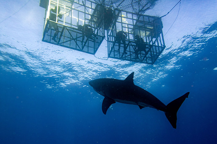 Tubarão golpeia gaiola de turistas durante mergulho (imagem de arquivo)
