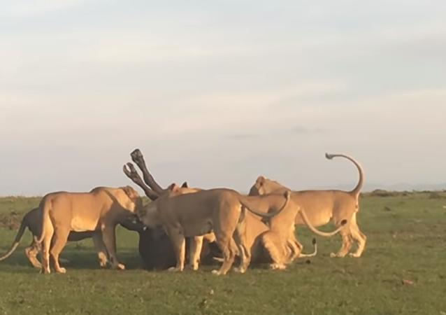 Leões jovens pegam um búfalo